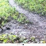 Bobcats use the trail on a regular basis.