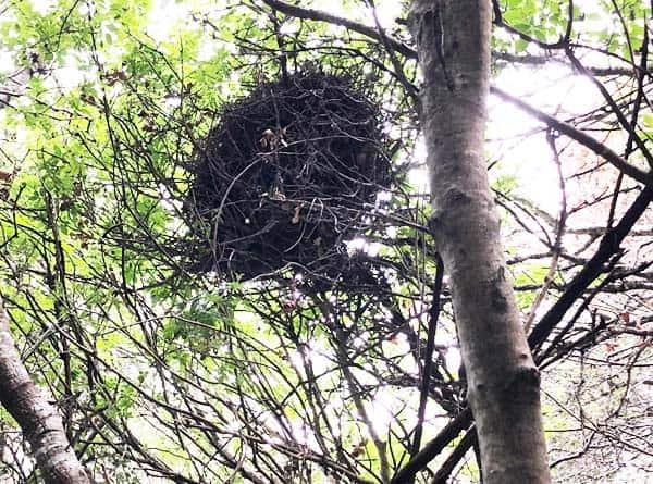 Dusky-footed woodrat home