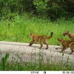 Puma cubs playing during the day.