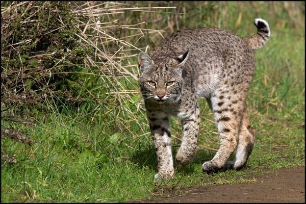 Bobcat on the trail. Photo by Trish Carney--courtesy of Felidae Conservation Fund