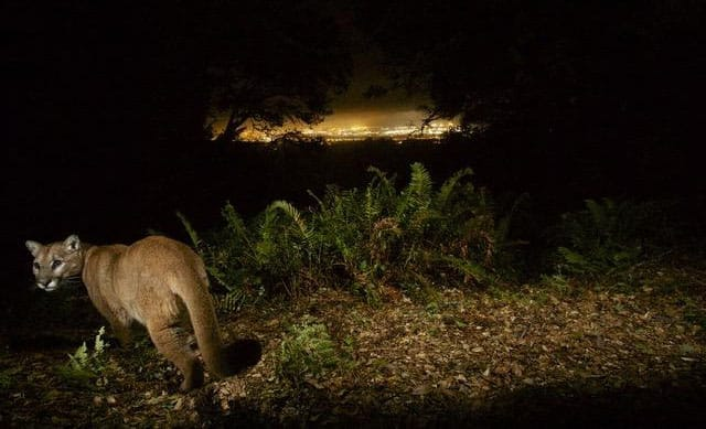 Puma with San Francisco Airport in background. Photo courtesy of Bay Area Puma Project