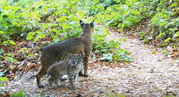 Bobcats on the trail. Photo by Marilyn Krieger/FelidaeFund