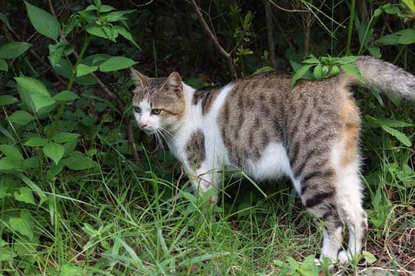 Feral cat patrolling and marking. Photo from Shutterstock