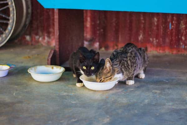 Feral cats enjoying a feast. Photo by Bonnie Kittle