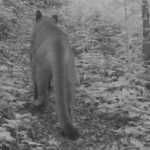 First mountain lion of the year filmed by our trail cameras