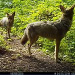 Coyotes 09M and mate