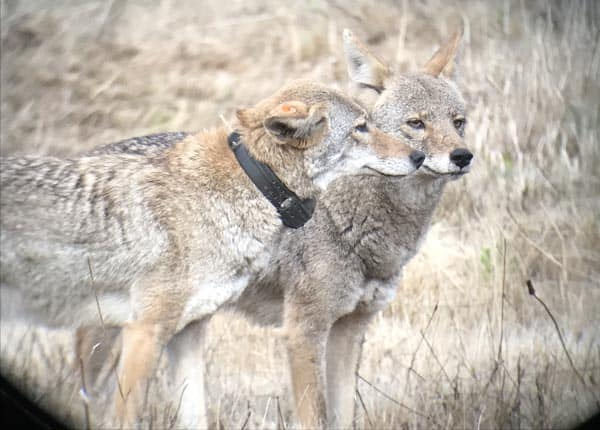 Coyotes: 09M's parents