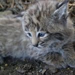 Young bobcat kitten