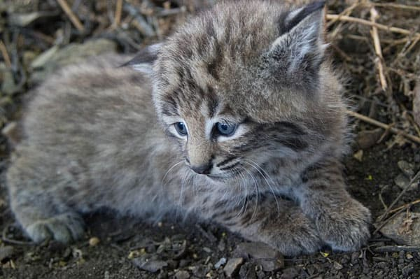 Young bobcat kitten. The bobcat kittens grow up