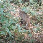 Bobcat on his way to the creek