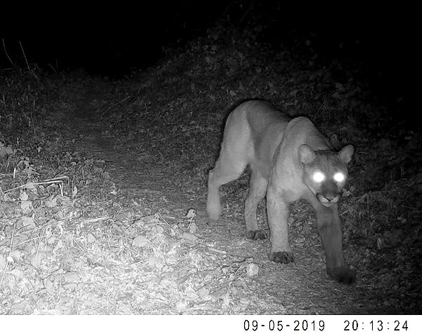 Mountain lion #2 walking the trail