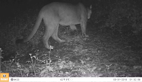 Slim, the mountain lion patrolling the trail.