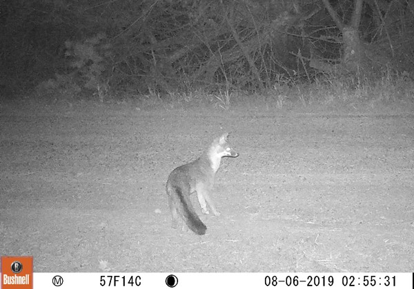 Lots of foxes in the area