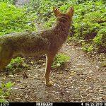 Coyote 09M