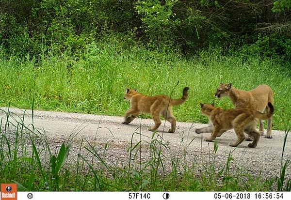 Puma family. Photo courtesy of Felidae Conservation Fund