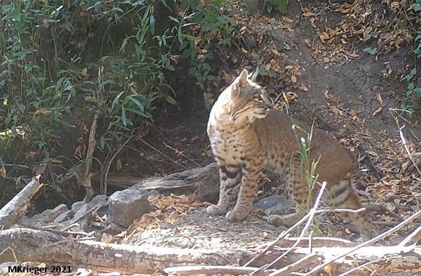 Bobcat urban wildlife